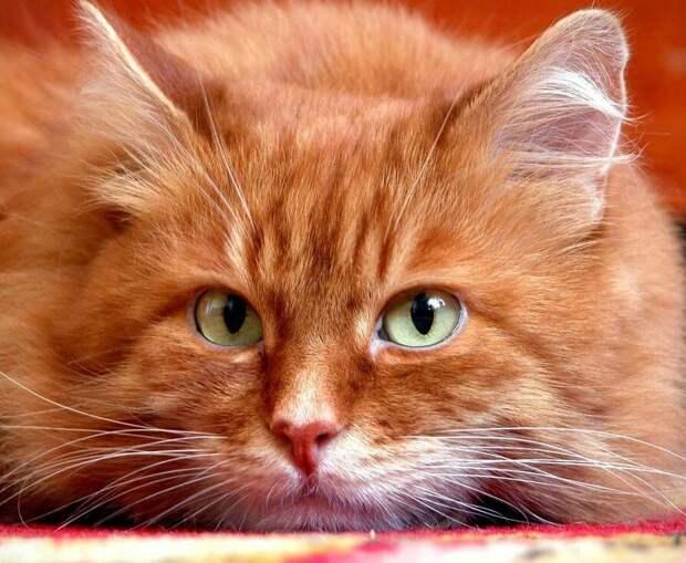 Как грозный кот избавил папин офис от нашествия крыс. Забавная история появления Рыжего в нашей семье