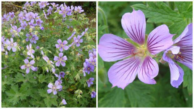 Герань грузинская, общий вид и цветки крупным планом. Фото с сайта garden.org