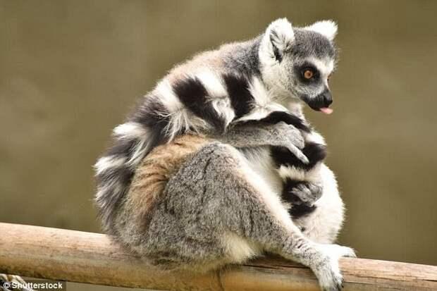 Мадагаскарские лемуры Галапагосы, австралия, животные, интересно, мадагаскар, познавательно, редкие животные, эндемики
