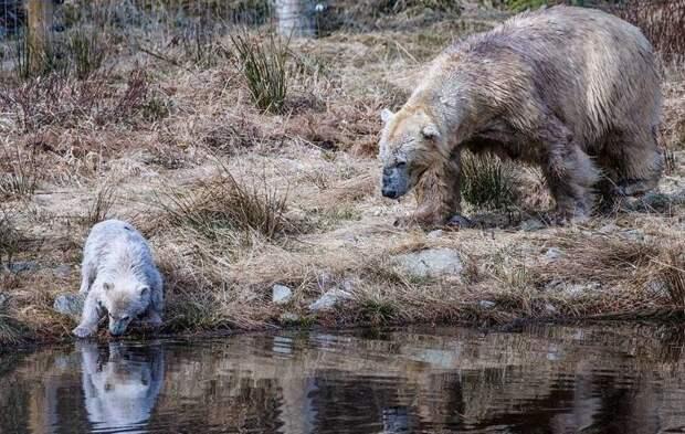 Детеныш будет жить с матерью пока ему не исполнится два года великобритания, детеныш, животные, медвежонок, пол, полярный медведь, шотландия