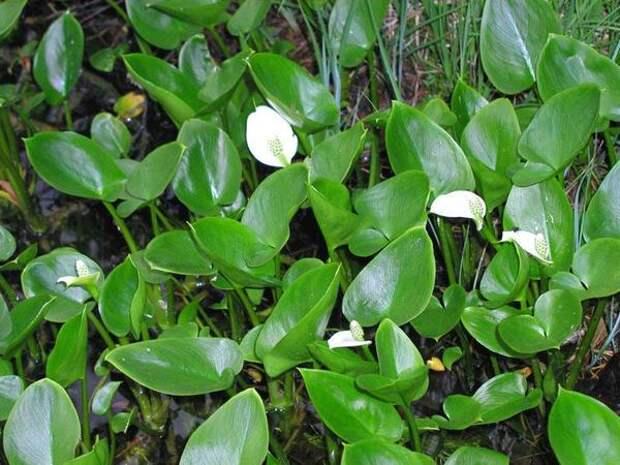 Белокрыльник болотный, фото сайта vilingstore.net