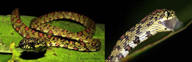 Рис. 5. Коста-риканский улиткоед (Sibon argus) — одна из змей парка «Омар Торрихос», сильнее всего пострадавших от сокращения численности лягушек. Слева — общий вид змеи; фото с сайта flickr.com. Справа — улиткоед, поедающий икру квакши (Agalychnis sp.); фото с сайта flickr.com