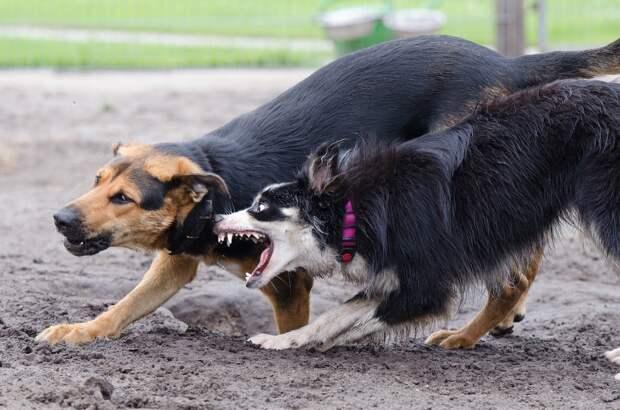В Удмуртии бешеная собака покусала трех человек