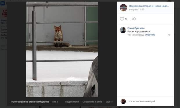 Домашняя лиса сбежала от хозяев в Некрасовку