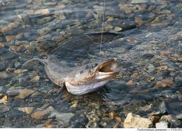 Бывает и налим влетит в жаркий весенний денек  лето, природа, рыбалка, хобби