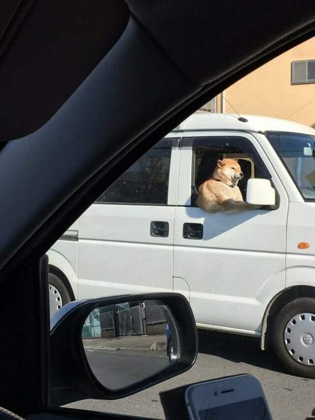 Думаете всё? А как вам пёс-водила с внушительной бицухой бицуха, лиса, мышцы, прикол, фотошоп, юмор