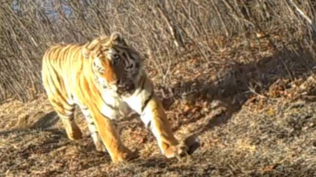"""Ученые подслушали """"беседу"""" тигра и оленя в Приморье"""