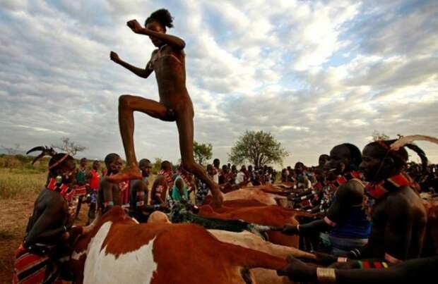 Племя каро из Эфиопии. Прыжки через быков и коров