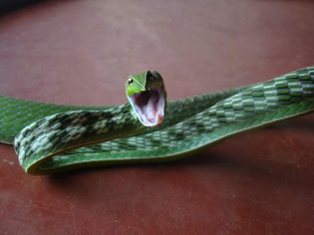 Ремешок змейкой: фотоистория о самой удивительной змее