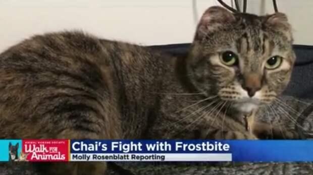 Зимой из-за морозов кошка потеряла уши, хвост и задние лапы, но люди помогли ей выжить