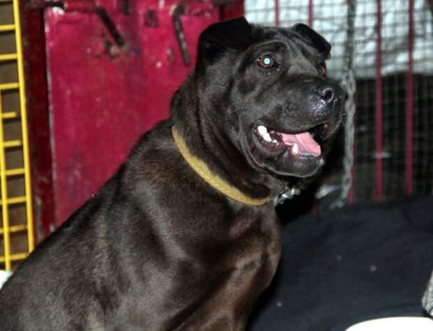 Голодная собака с печальными глазами была готова на все ради еды история, порода, собака, шарпей
