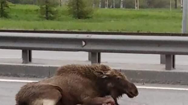 Легковушка сбила лося у Пулковских высот в Петербурге