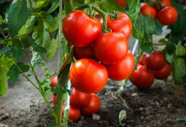 Садим помидоры. / Фото: vasha-teplitsa.ru.