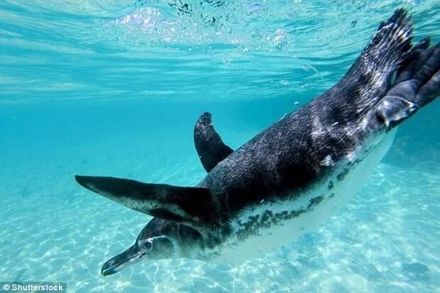 Галапагосский пингвин Галапагосы, австралия, животные, интересно, мадагаскар, познавательно, редкие животные, эндемики