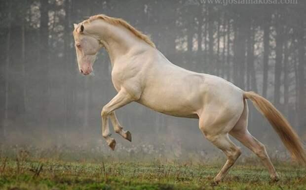 Еще одна ахалтекинская лошадь животные, лошадь