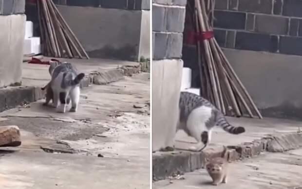 «Я не нагулялся»: непослушный котенок, убегающий от мамы, рассмешил Сеть