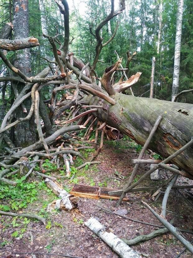 Знаменитое Чертово дерево упало в Игринском районе Удмуртии