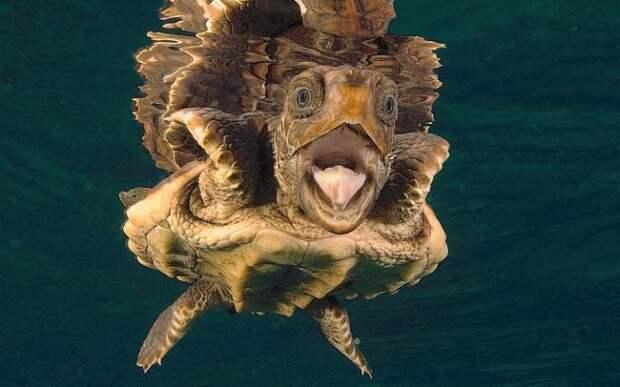Головастая морская черепаха