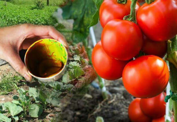 Помидоры плодоносят все лето без остановки: подкармливаем золой с йодом