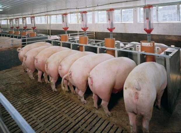 США выделяют Украине 35 млн $ на производство свиней