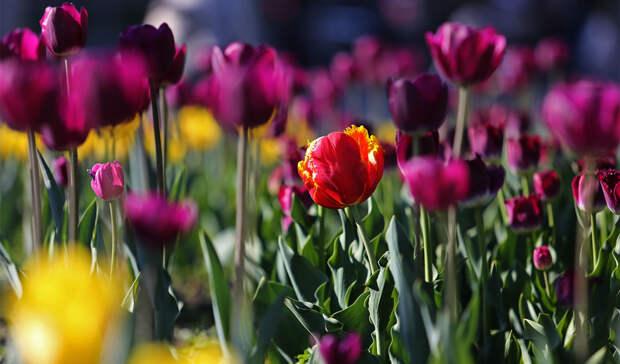 «Тюльпанов море»: наклумбах Владивостока— весеннее разноцветье