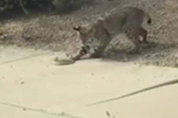 Жестокая схватка рыси с гремучей змеей попала на видео случайного прохожего