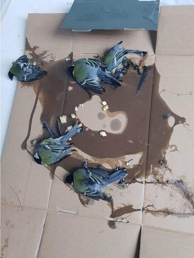 Как ветеринары спасали синичек из ловушки для крыс в мире, ветеринары, добро, ловушка, люди, птичка, синичка