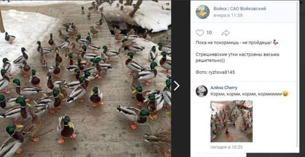 Утки в Войковском не дают прохода без «взятки»