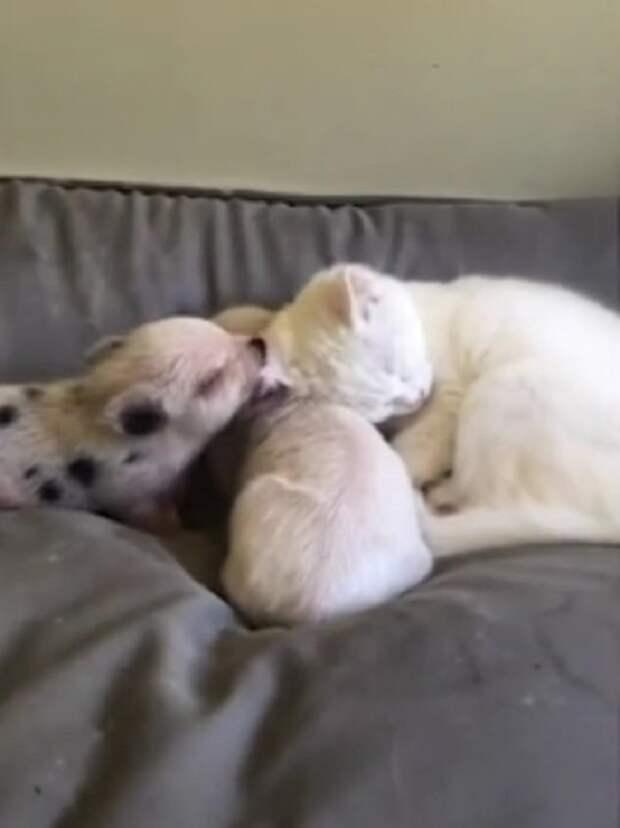 Женщина принесла домой маленьких поросят и оставила их со своим котом