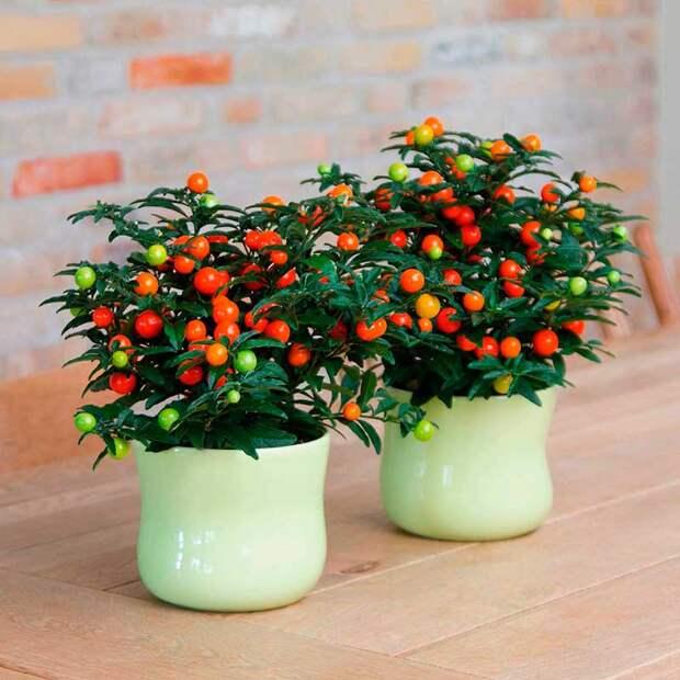 Комнатное растение Паслен (Solanum)