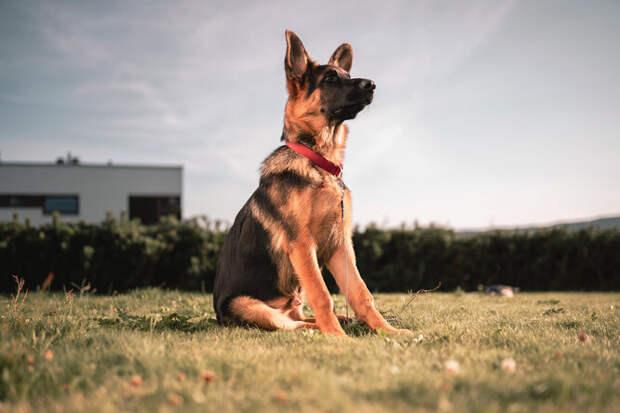 Телохранитель: 9 пород собак — лучших сторожей иохранников