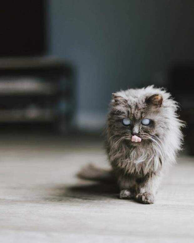 Кот Мерлин, покоривший своей необычайной внешностью