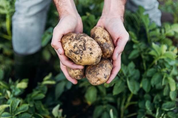 рулет из картофельного пюре