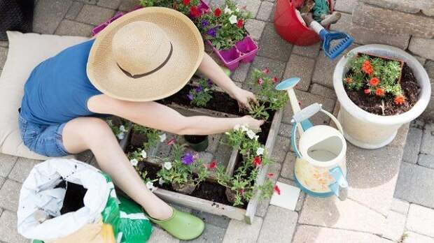 Woman in a wide brimmed straw gardening hat sitting on a brick patio planting petunia seedlings into a decorative square container on a hot spring day to beautify her patio and back yard