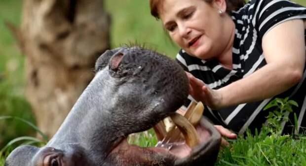 Маленькая бегемотиха выжила только благодаря неравнодушным супругам