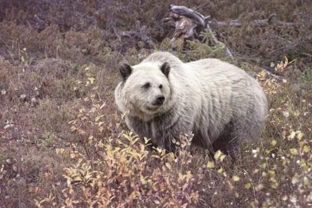 Изменения климата в Арктике приводят к скрещиванию белых медведей с гризли