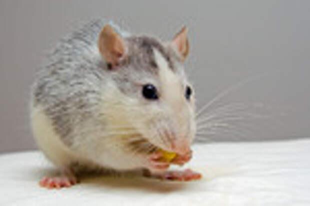 Крысиное  житие...