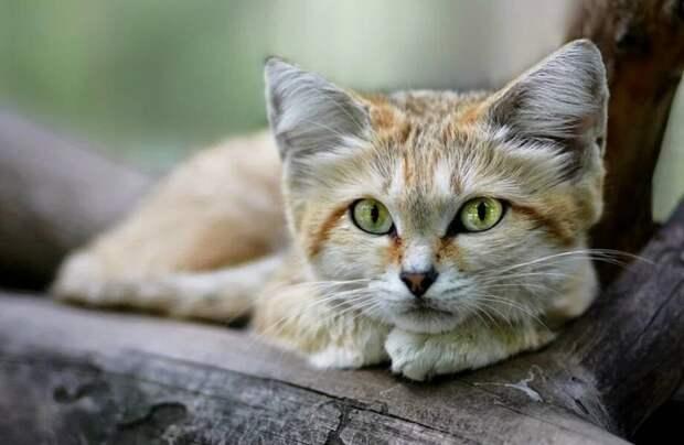 Видео: Барханный кот — почему его зовут королем пустыни
