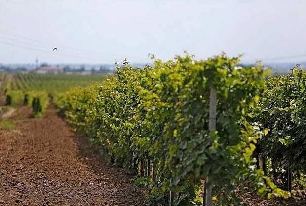 Виноградопригодных земель на Кубани стало почти в два раза больше
