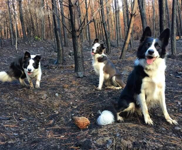 Веселые бордер-колли помогают сажать деревья на выжженных пустошах