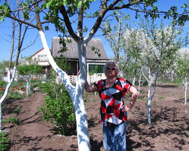 Весна, пора белить деревья! (состав побелки)