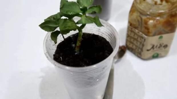 Этот способ укоренения растений действует даже там, где другие бессильны