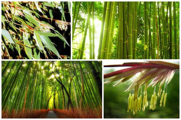 Бамбук интересное, природа, раз в жизни, факты, фауна, флора, цветы