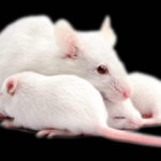 Переливание молодой крови замедлило старение мышей