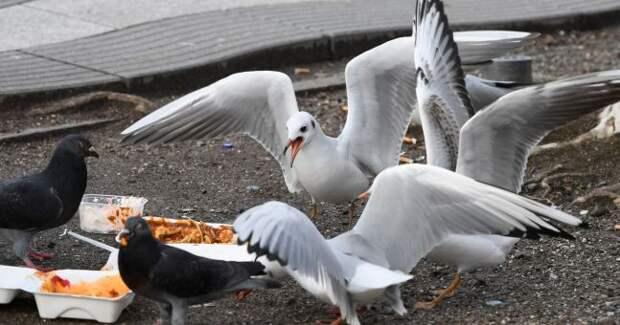 Толстые чайки в Бахрейне перестали летать и шатаются по улицам. Всему виной местная кухня