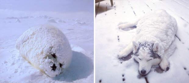 7.  животные, собака, сходство, тюлень