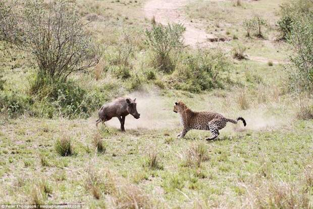 Но уже через мгновение он осознает, что предстоит борьба не на жизнь, а на смерть битва животных, бородавочник, заповедник, кения, леопард, масаи-мара, самка, схватка