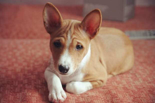 Басенджи - африканская порода собак. Фото