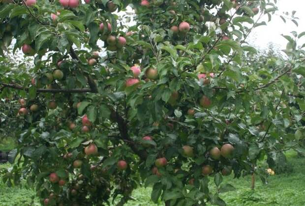 Причины периодичности плодоношения яблони