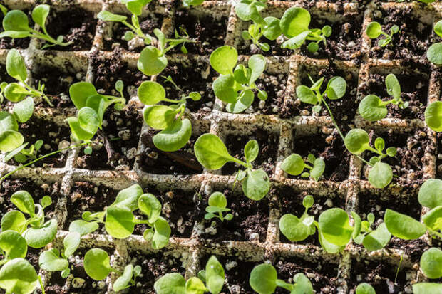 Семена петунии рекомендуется сеять с февраля по апрель